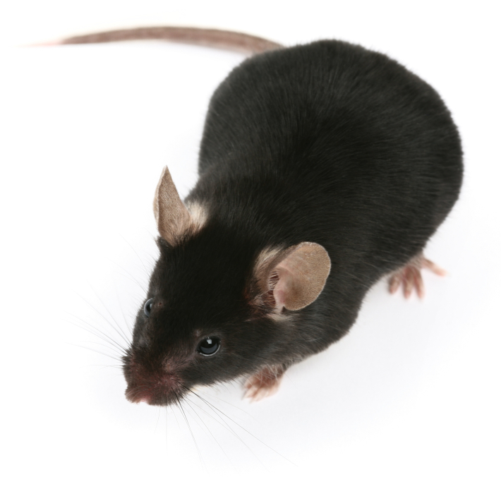 Jacksonville Rodent Control & Removal | Rat & Mice Proofing